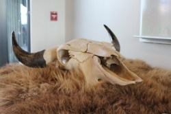 The skull and pelt of a bison are accessible to visitors.