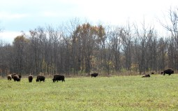 The park is famous for the bison that roam the grounds.