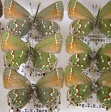 Unit tray full of butterfly specimens in the Dave Parshall Butterfly Collection.