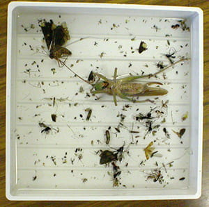In the lab we sort specimens in each sample to large groups (ex.: beetles, wasps, leafhoppers, etc.)