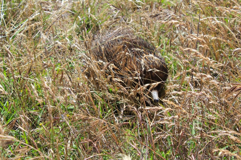 Ехидна - дикобраз с утиным клювом