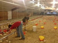Day 7 Lab - Catching chicks.