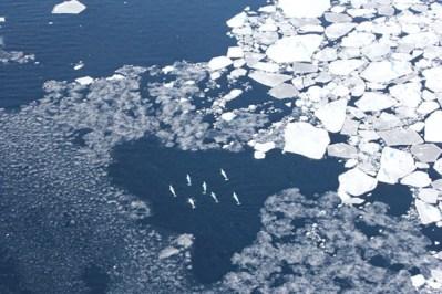Belugas and sea ice