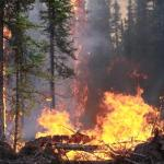 An experimental fire on Nenana Ridge burns the underbrush in a forest.