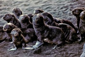 fur seal pups