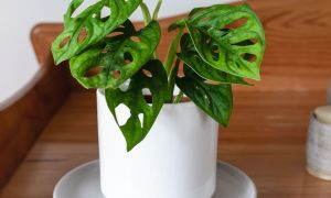 tips-cuan-monstera