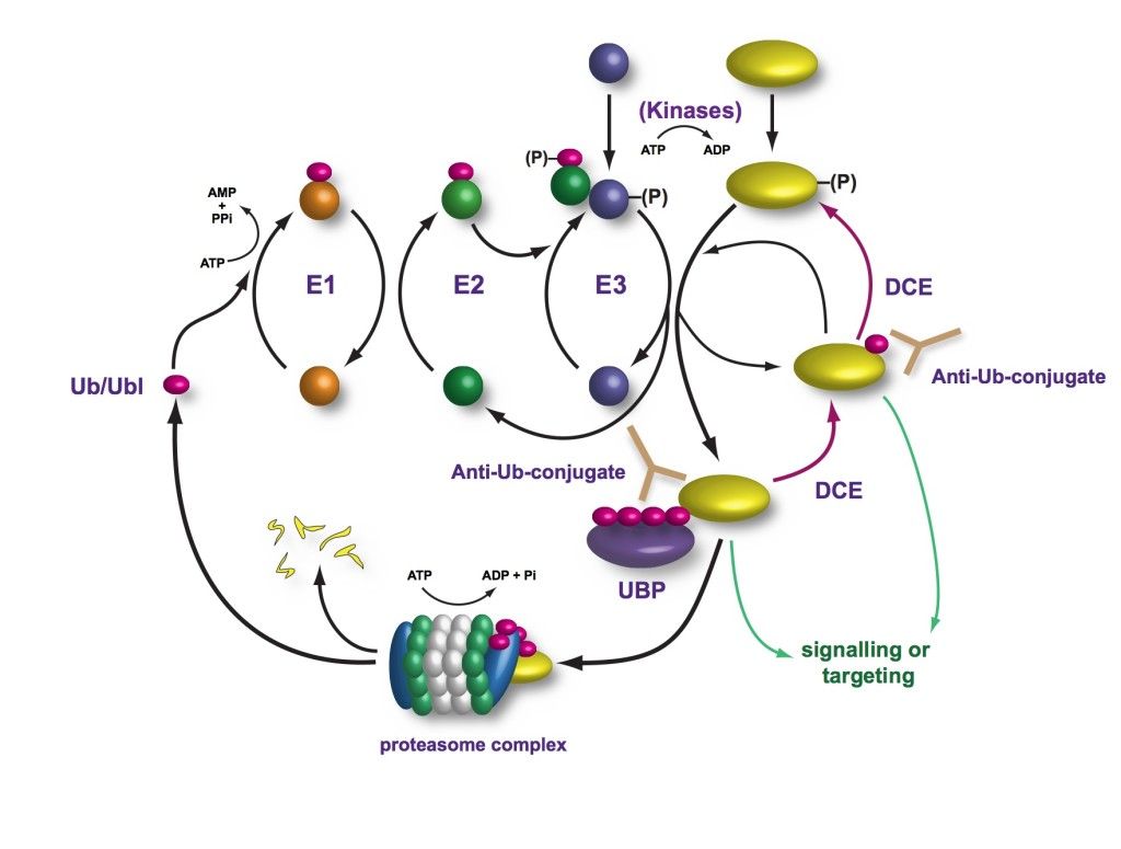 hight resolution of ubiquitin system diagram