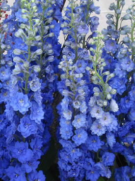 Delphinium Blue Hybrid UBloom