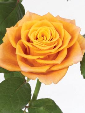 Rose Orange Marie Claire  uBloom