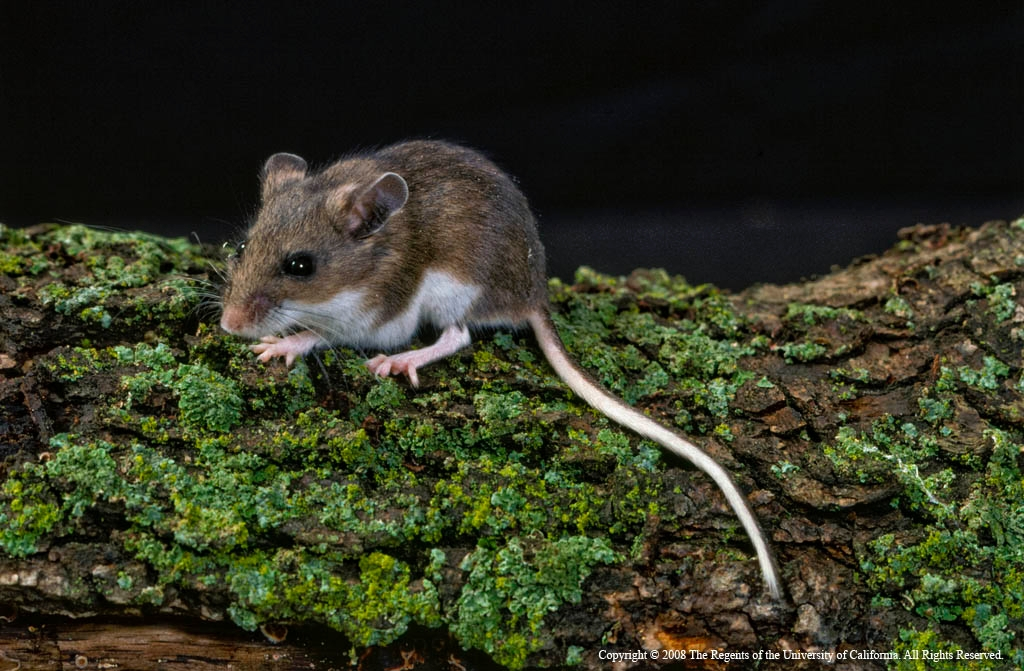Recent cases of hantavirus a reminder to be mindful of deer mice ...