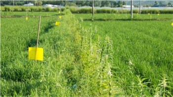 This photo shows sesame and the grass (Leersia sayanuka) planted together along a rice field edge in China. Sesame is important because it provides pollen and nectar for the parasitoids. (Photo courtesy of Zhongxian Lu)