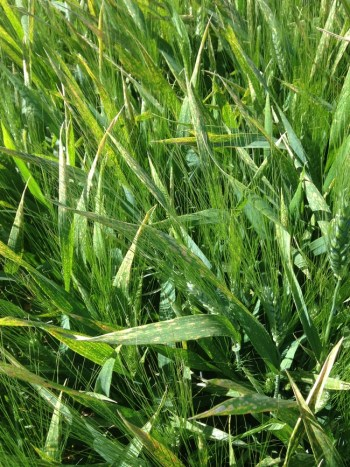 Leaf spotting symptoms at Davis durum wheat variety trial (canopy view)