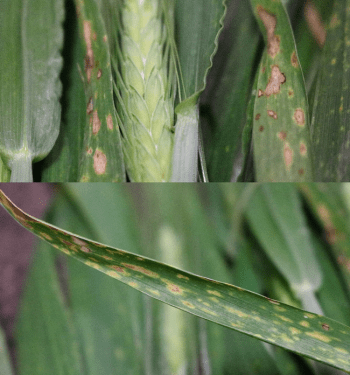 Figure 5. Additional views of leaf spot symptoms from Hanford-area field.