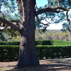 Stonefields by Paul Bangay - Curly Bark Gum