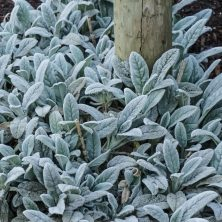 Lambs Ear - Ground Cover