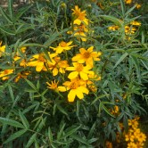 Marigolds Passion fruit Scented in the Perennial Garden