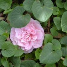 Camellia - Pink Frill