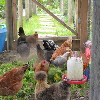 Chooks and Greens - and Ms. Silkie and a Dust Bath