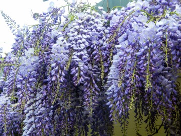 Wisteria in Full bloom at Uccello Lane