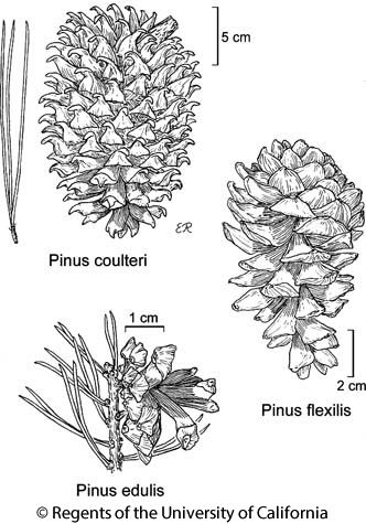 Pinus coulteri plants