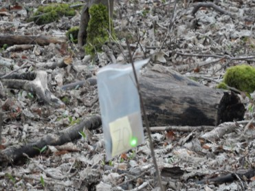 One of Pen's glow-worms placed in Wytham woods in advance