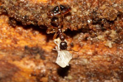 Aphaenogaster picea_14289563657_l