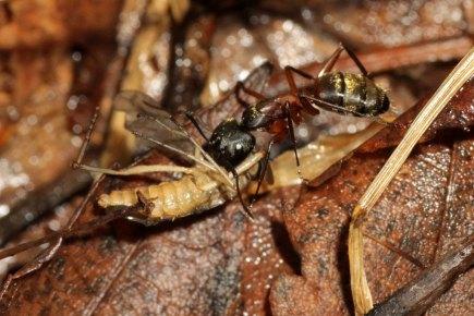 Camponotus chromaiodes_14474700722_l
