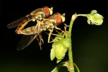 mating Toxomerus marginatus_14452913366_l