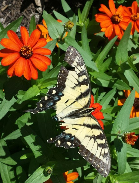 Butterfly on zinnias