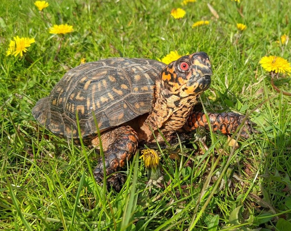 timber box turtle