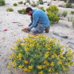 Granite Mountains plants at UC Botanical Garden