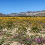 Anza-Borrego super bloom