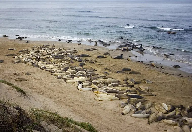 weighing seals by drone