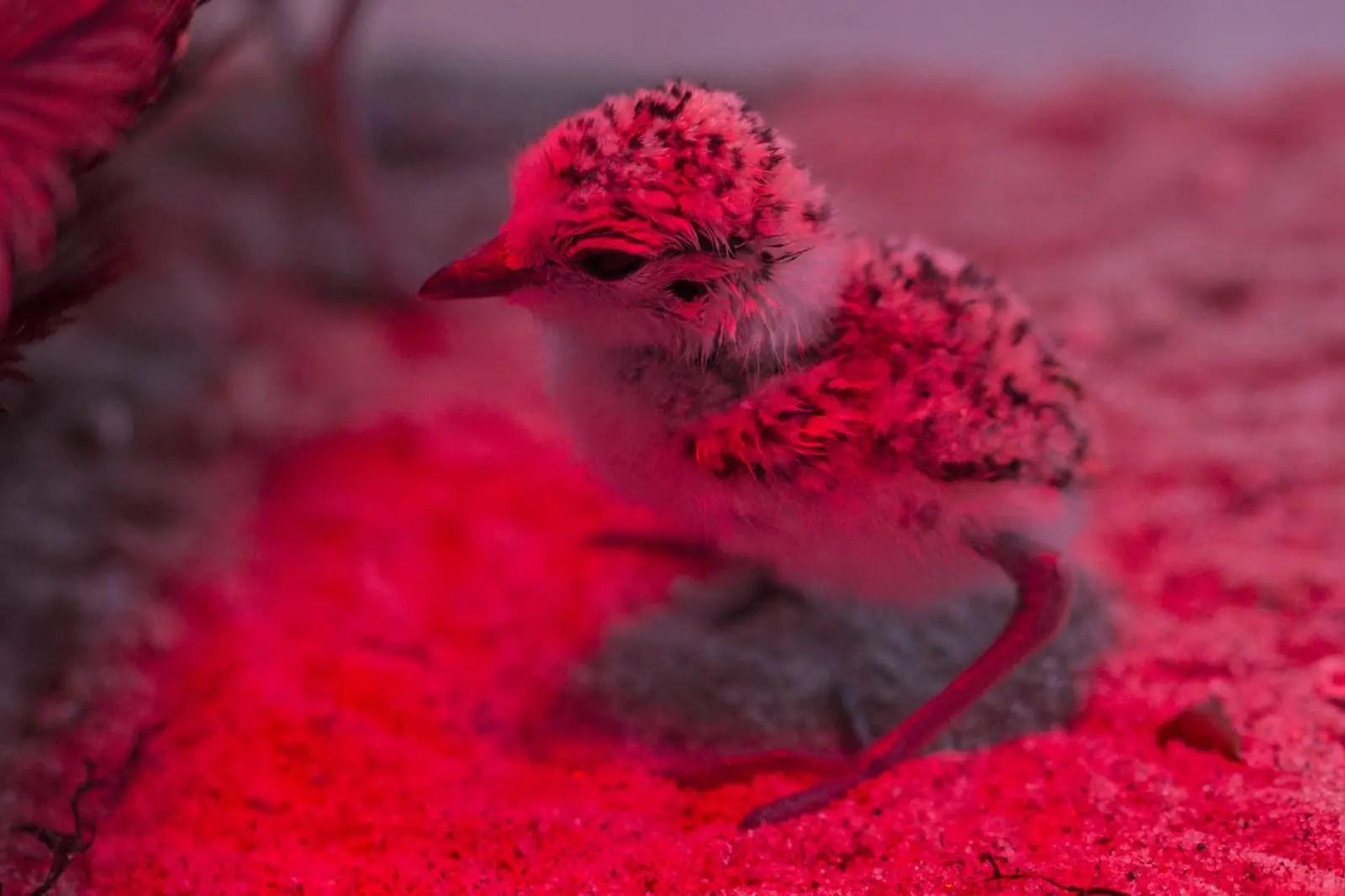 plover nesting