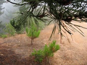 fog drip on needles at Santa Cruz Island Reserve