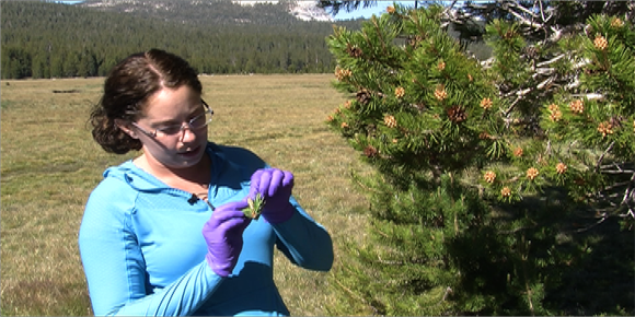 Emily Wilson samples conifers at Tuolumne Meadows. Her goal is to study the microbes growing inside tree tissues. Image credit: Lobsang Wangdu