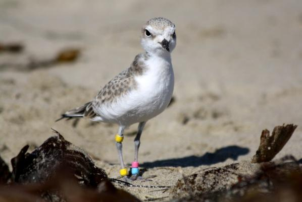 Raul the western snowy plover is still adjusting to life among his own kind at Coal Oil Point Reserve. Image credit: Alexis Frangis