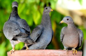 band-tailed pigeon die-offs linked to new pathogen
