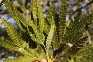 The Santa Cruz Island ironwood (Lyonothamnus floribundus ssp. aspleniifolius) is in the rose family. This subspecies is found only on Santa Cruz, Santa Rosa and San Clemente islands. Image credit: Lyndal Laughrin