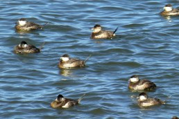 Ruddy ducks VII