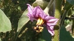 Bee on eggplant