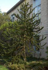 monkey-puzzle-tree1
