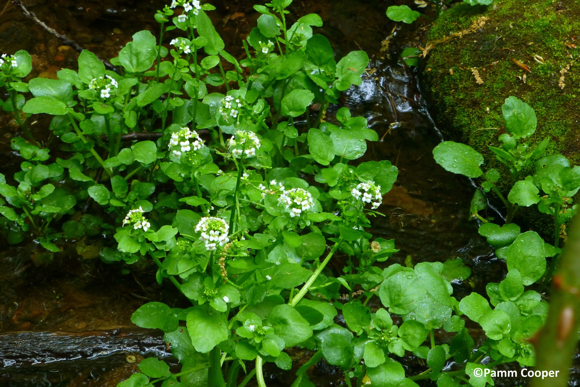 hight resolution of watercress nasturtium officinale