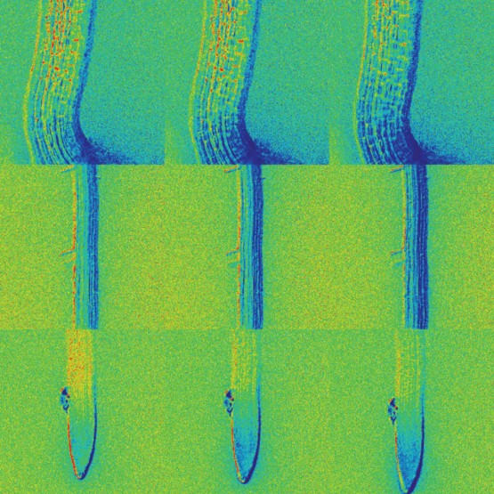 <p>Time sequence shows how mustard seedlings take up and distribute ABA  through roots and other parts of the plant during germination. Credit: Rainer Waadt, UC San Diego</p>