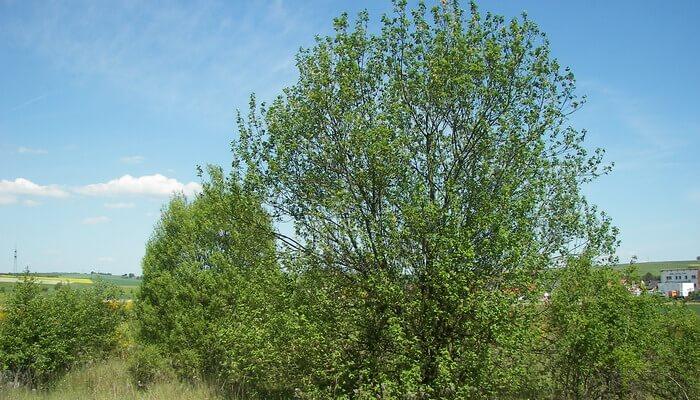 Козья ива: килмарнок и пендула на штамбе. Украшение сада — козья ива на штамбе