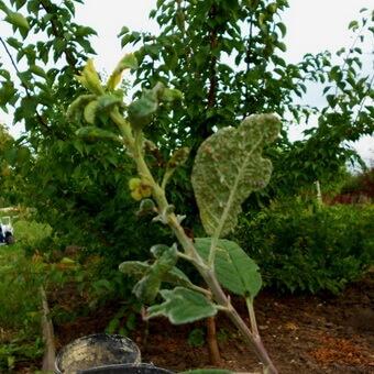 Листья сливы в дырочку клястероспориоз что делать борьба лечение