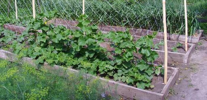 Когда и как проводить сбор урожая огурцов? Сбор и хранение урожая огурцов.