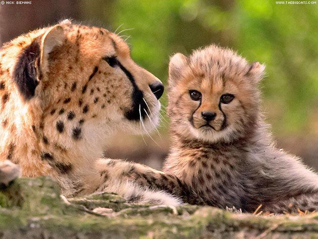 Гепард и гепардёнок. Фото
