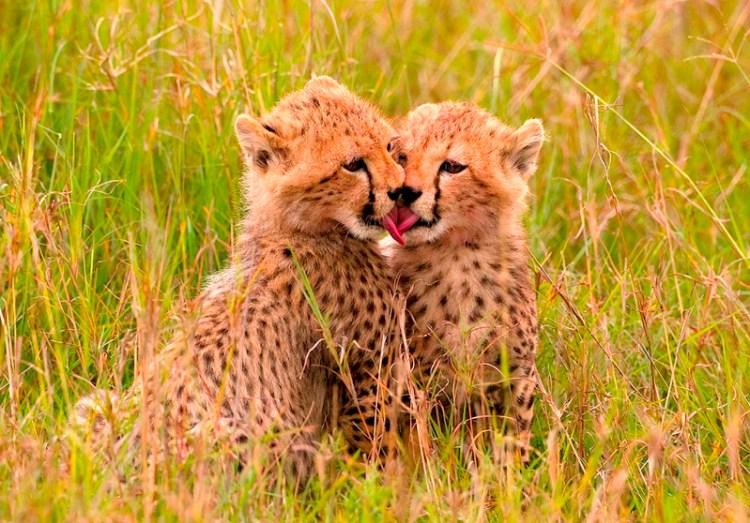 Поцелуй гепардят. Фото