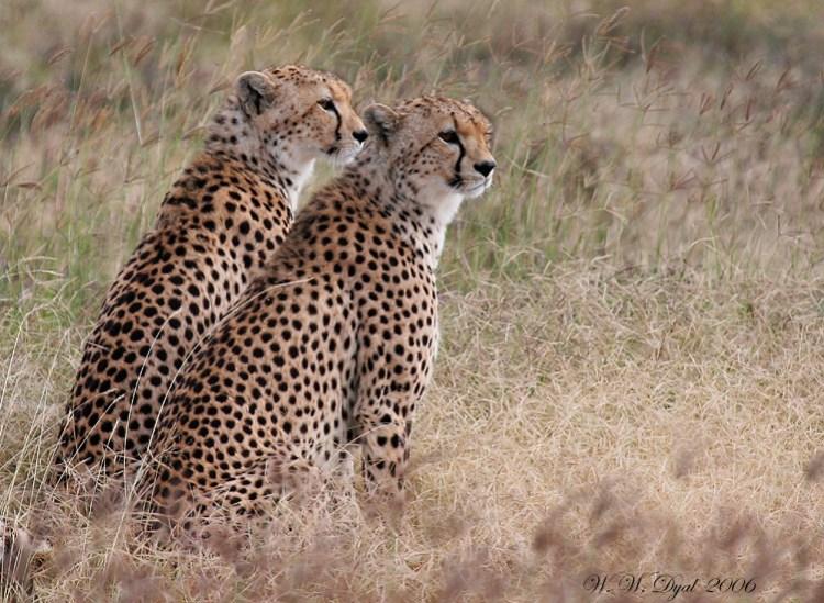 Чета гепардов. Фото